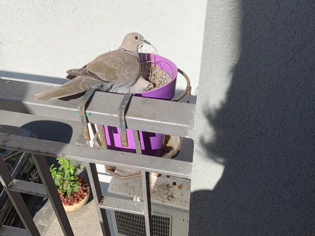 Nido Di Tortore Sul Balcone brolo – una tortora nidifica sul balcone del comune segno di